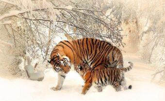 Новый год 2022 Тигра