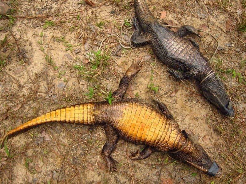 пещерные крокодилы